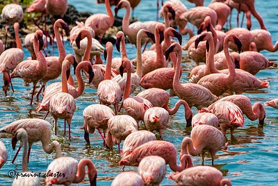 Flamboyance of Flamingos