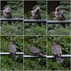 Immature Band-tailed Pigeon ~ Patagioenas fasciata