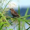 Female Red-winged Blackbird Among Grass Seeds