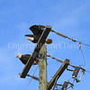 Haliaeetus leucocephalus – Bald eagles on power pole 2