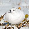 White-tailed Ptarmigan Profile