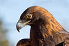 This Golden Eagle is part of a raptor rehabilitation program.