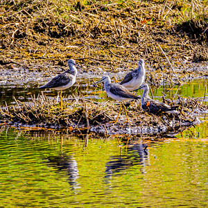 Greater Yellowlegs, Tringa melanoleuca