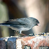 Dark-eyed Junco Enjoying An Afternoon Snack in the Sunshine