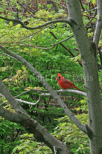 Cardinalis cardinalis – Northern cardinal 3