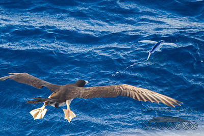Brown Booby Pursuing a Flying Fish