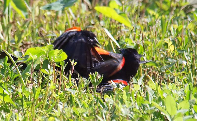 Red-winged Blackbird Death Match 19