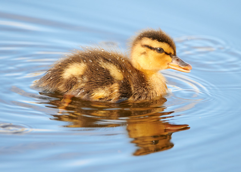 This young Mallard Duck seems to have gotten separated from his parents.  Don't worry, they're not far.