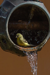 Goldfinch, Tohono Chul Park, Tucson, AZ
