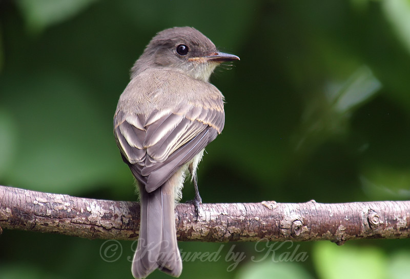 Rear View Of A Phoebe Fledgling