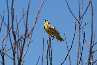 Western Meadowlark in Black Hills
