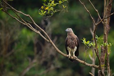 Grey Headed Fish Eagle, Singapore