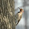 Norther Flicker - Nova Scotia