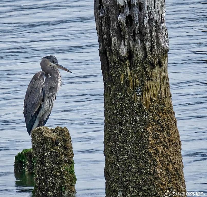 Great-Blue Heron ~ Ardea herodias