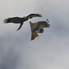Red Kite Courtship 2