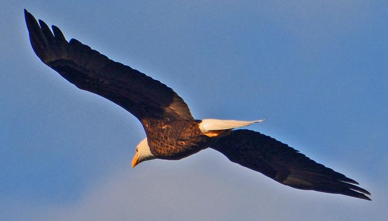 American Bald Eagle in flight.