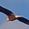 American Bald Eagle in flight.