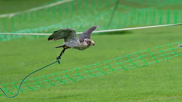 Tethered Gyrsaker Falcon cross with Peregrine Falcon  -  Northcroft Newbury