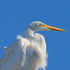 Great Egret gazes at the sun.