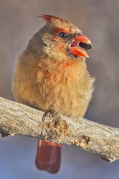 Female Cardinal with sunflower seed