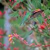 Archilochus colubris – Ruby throated hummingbird on Echeveria