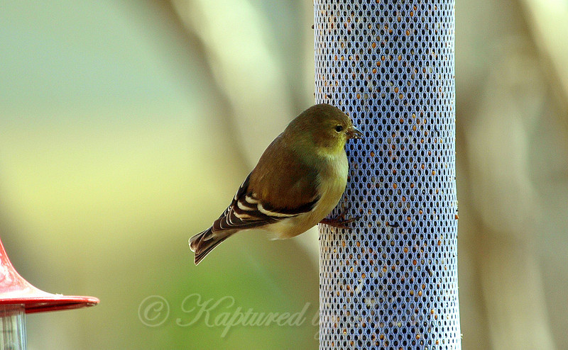 The Gold Finches Are Back!