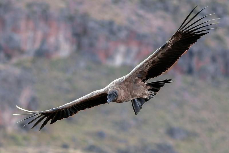 Immature Andean Condor in Flight #1