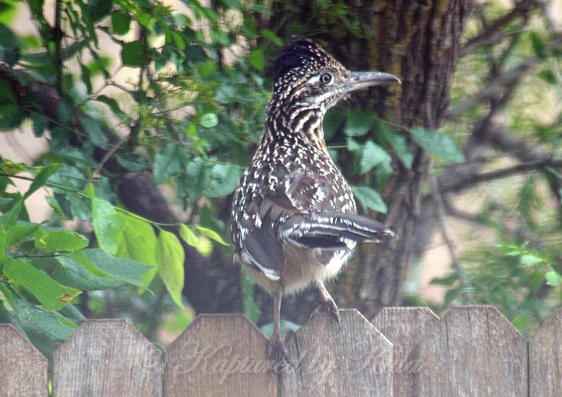 Greater Roadrunner On The Back Fence