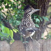 Greater Roadrunner On The Back Fence
