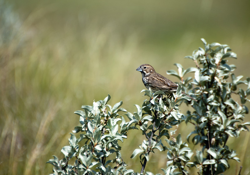Female Lark Bunting - Grasslands National Park, Saskatchewan
