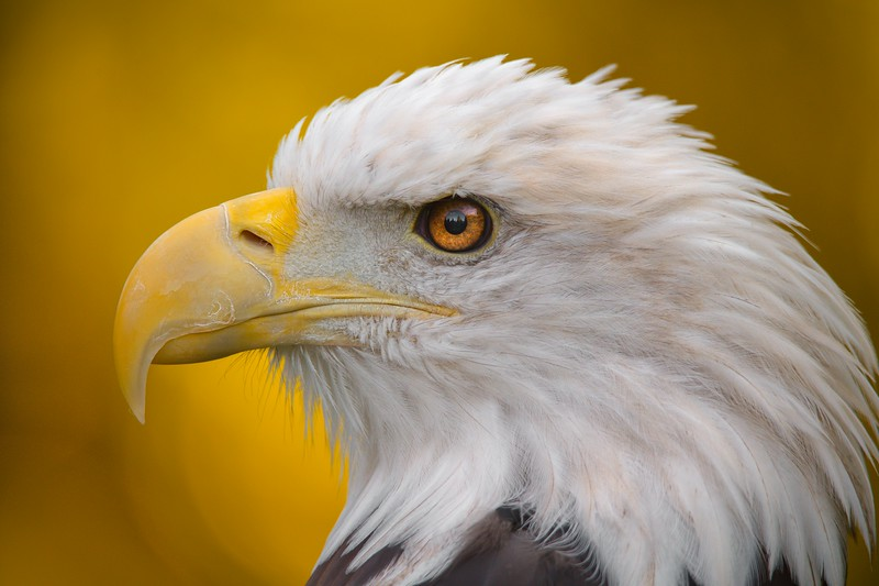 North American Bald Eagle in profile