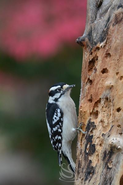 Downy Woodpecker Bird Photo