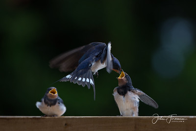 Swallows, Suffolk