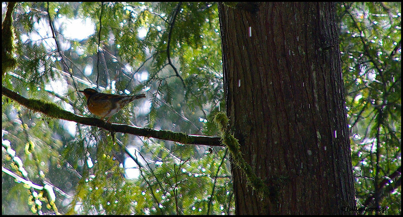 Varied thrush ~ Ixoreus naevius