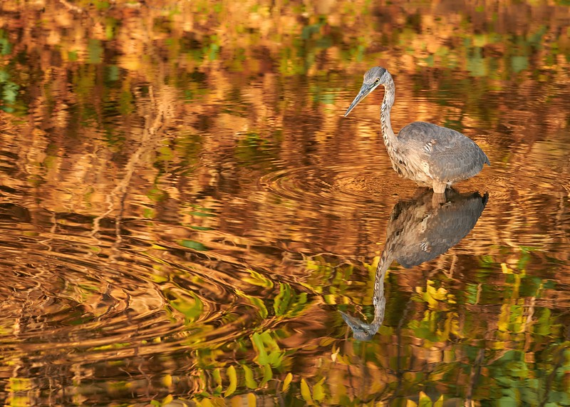 Great Blue Heron in October