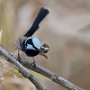 Superb Fairy-wren, Federation Walk, Gold Coast, Queensland.