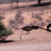 Tawny Eagle and Black crow