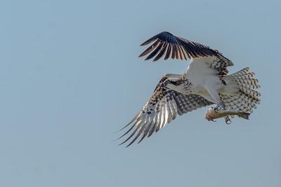 Osprey, Aransas Wildlife Refuge, Texas.
