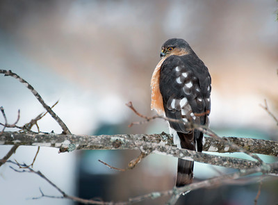 Sharp-shinned Hawk - Springhill, Nova Scotia