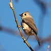 Cute Tufted Titmouse