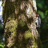 Red-breasted Sapsucker ~ Sphyrapicus rubber