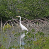 Ardea herodias occidentalis – Great white heron 1