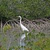 Ardea herodias occidentalis – Great white heron 1
