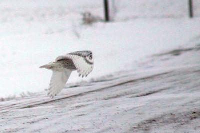 IMG_7378_Snowy_owl_inflight