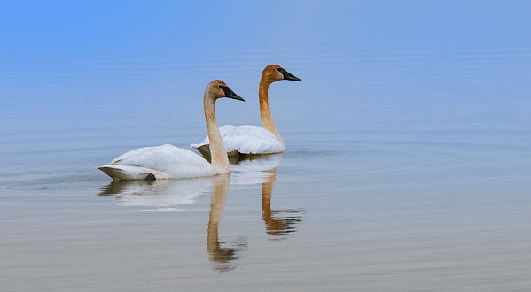 Trumpeter Swans Floating Along