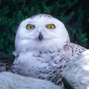Snowy owl ♀