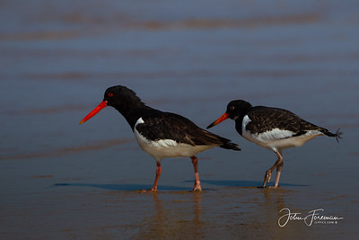 Oyster Catchers, Norfolk