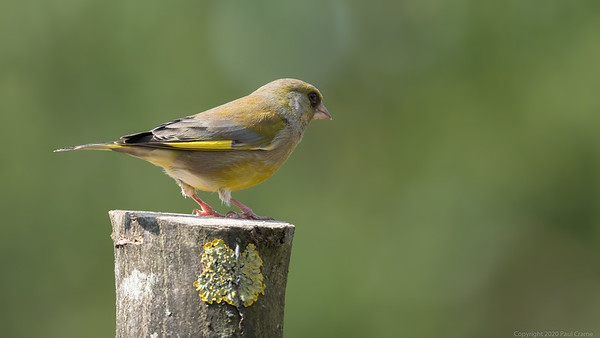 Greenfinch Portrait 3 - taken from bedroom window during lockdown 2020