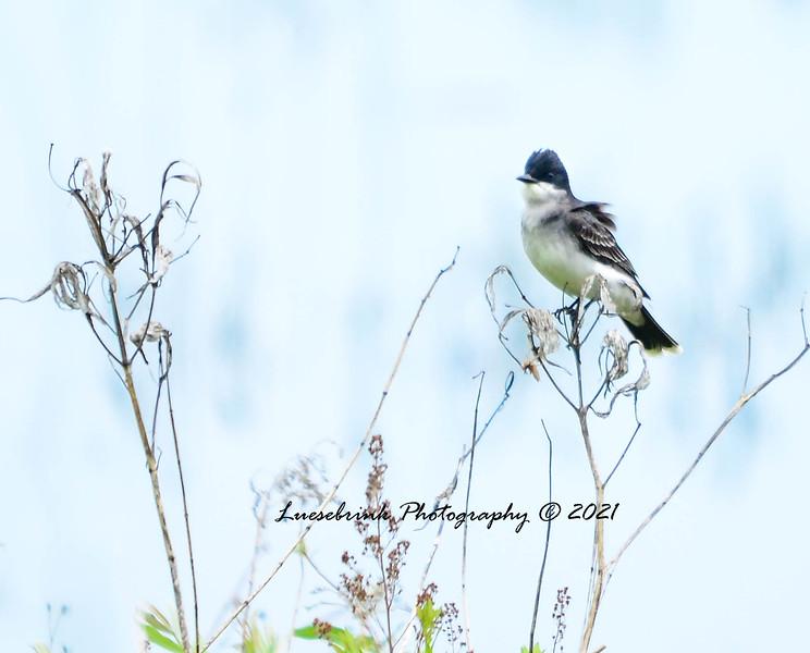 King Bird at Crex