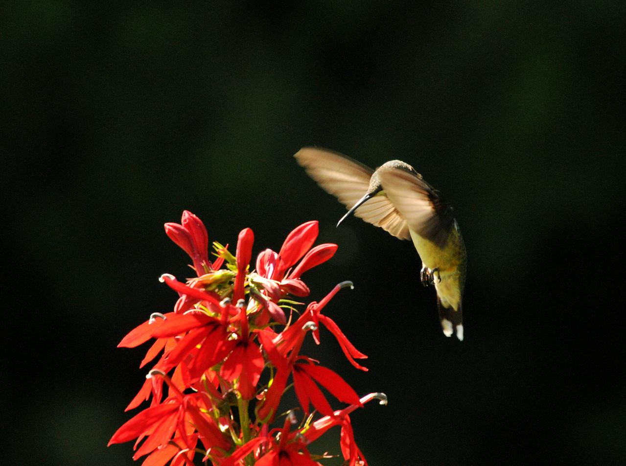 Hummingbird At Cardinal Flower